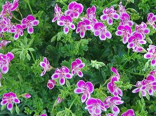 ペラルゴニューム 新・花と緑の詳しい図鑑