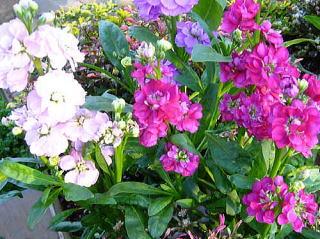 NAVER まとめ5月6日の花と❀花言葉❀著莪(しゃが)、ストック(あらせいとう)、矢車草