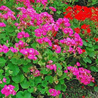 pelargoniumsp_n01.jpg