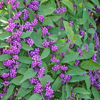 紫式部 植物 花 画像
