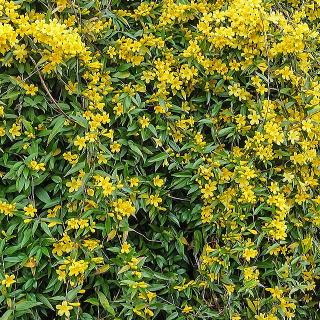 カロライナジャスミン|花と緑の図鑑