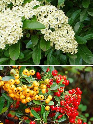 ピラカンサ 新・花と緑の詳しい図鑑