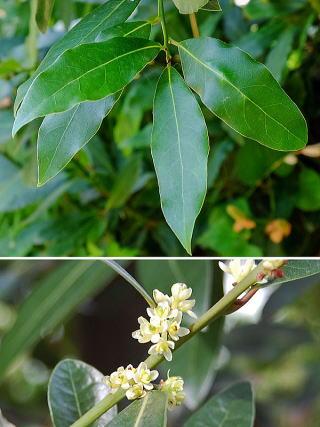 ゲッケイジュ 新・花と緑の詳しい図鑑